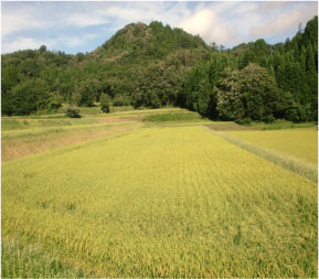 Rice_1